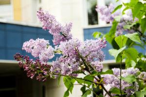 Весна, сирени аромат…
