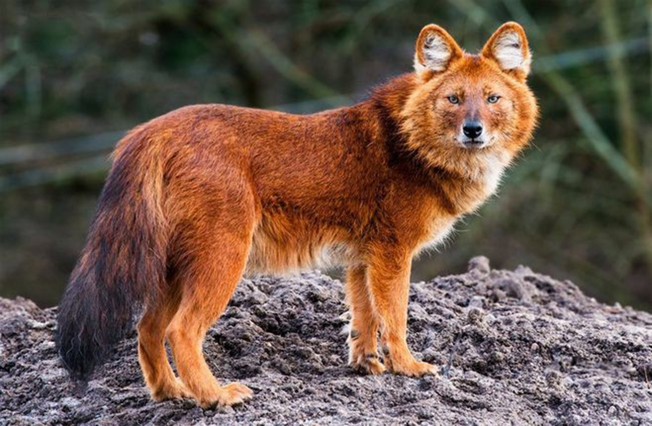 Красный (горный) волк