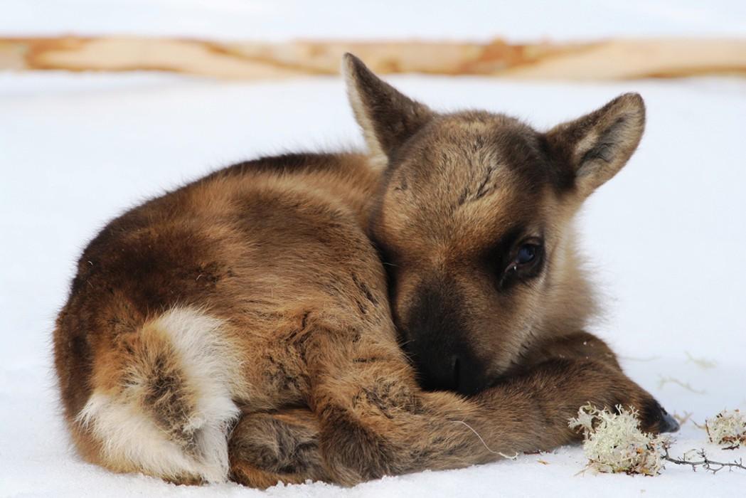 Северный олень - благородный красавец тундры