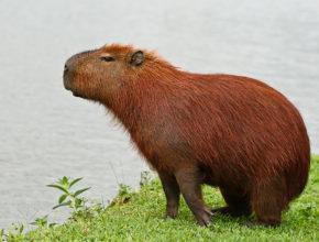 Капибара - удивительное животное отряда грызунов