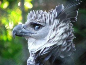 Южноамериканская гарпия из семейства ястребиных-самая большая птица