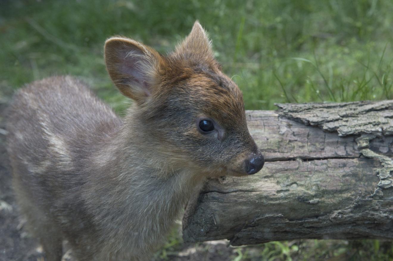 Пуду: Самый крошечный олень в мире