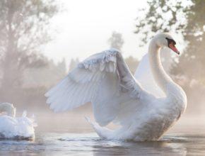 Белый лебедь - птица благородного полета