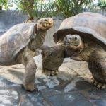 Две черепахи разорвали отношения после 115 лет «брака»
