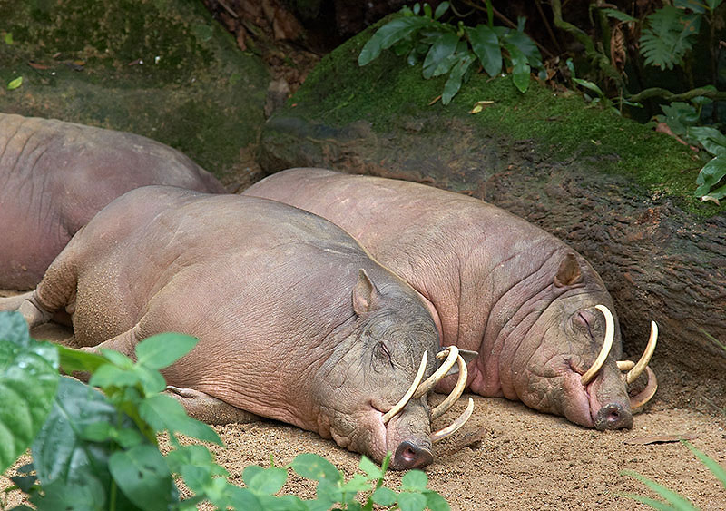 Бабирусса или свинья-олень