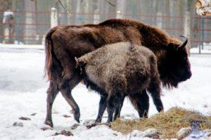 Центральный зубровый питомник, в Приокско-Террасном заповеднике – главный питомник по разведению зубров в России