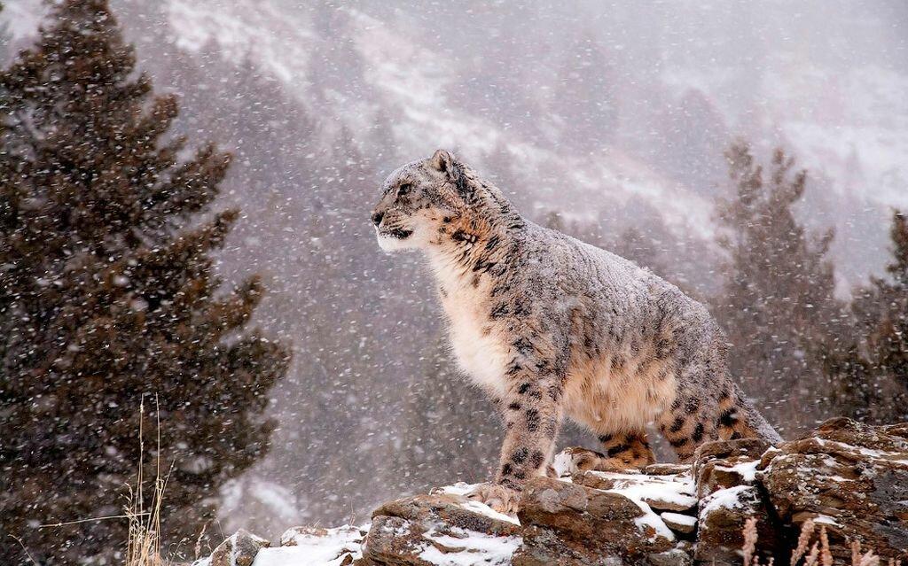 Ирбис- другое название снежного барса