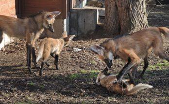 Семья гривастых волков московского зоопарка с потомством
