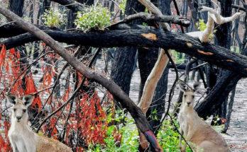 Природа Австралии возрождаеться после пожаров