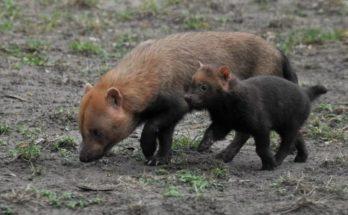 Краснокнижные кустарниковые собаки принесли потомство