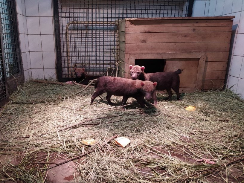 В Московском зоопарке впервые родились щенки редких кустарниковых собак