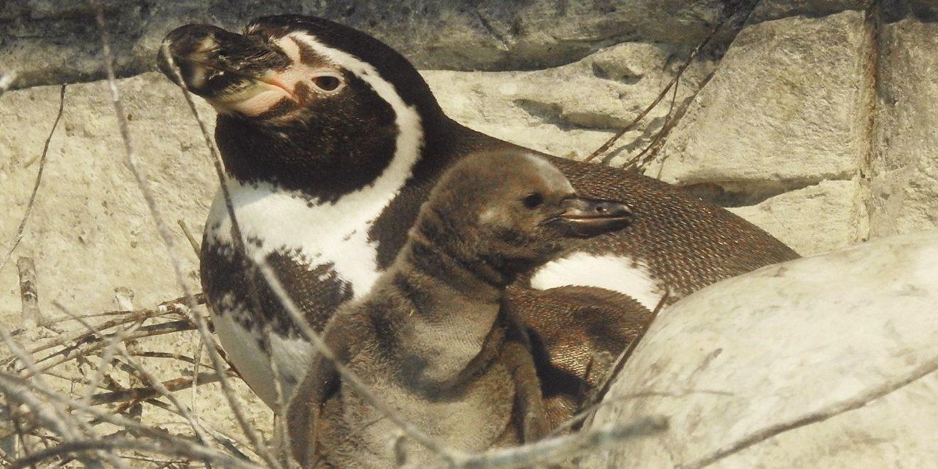 В Московском зоопарке снова радость - пополнение в семействе пингвинов Гумбольта