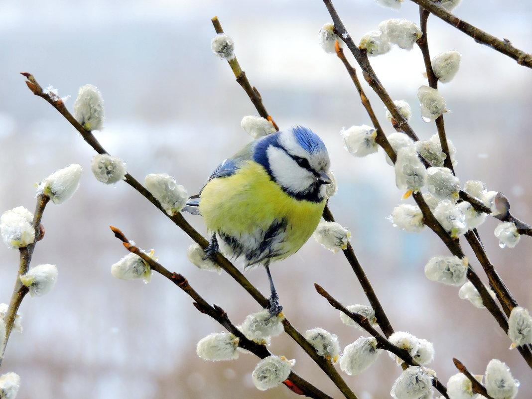 картинки ранняя весна верба и птички прошлое воскресенье перед