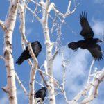 Грачи красивые и умные птицы