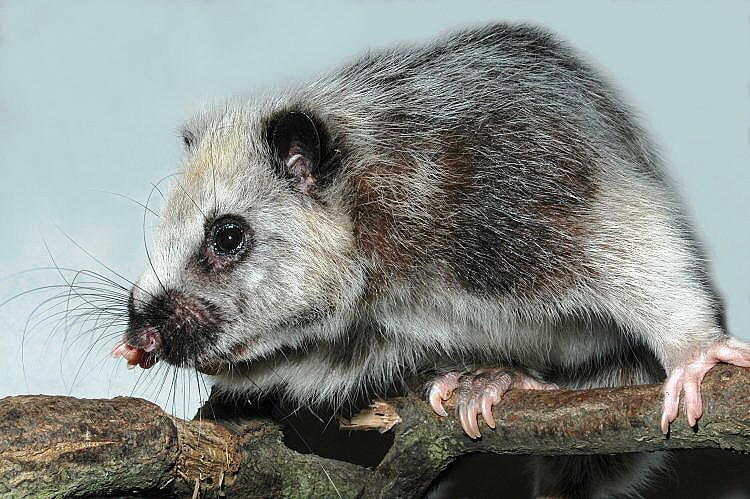 филипинская дымчатая крыса