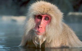 Японские макаки любят греться в горячих термальных источниках