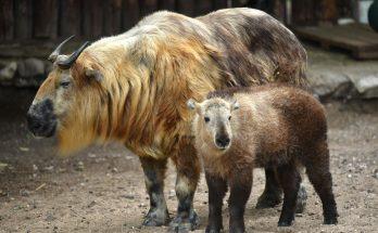 Самка сычуаньского такина с детенышем