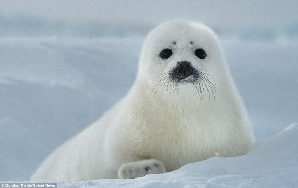 Белек - детеныш гринладского тюленя