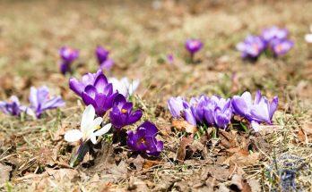 Крокусы - прекрастные цветы апреля