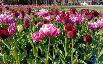 Свежесть весенних цветов
