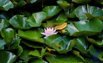 Цветение лотосов на пруду в парке Сокольники